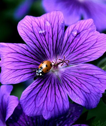 Marienkaefer, Coccinella, semptempunctata, Natur Pflanze Tier Sommer Blüte Käfer frei rot schwarz weiß Storchschnabel Marienkäfer Insekt flugfaehiger