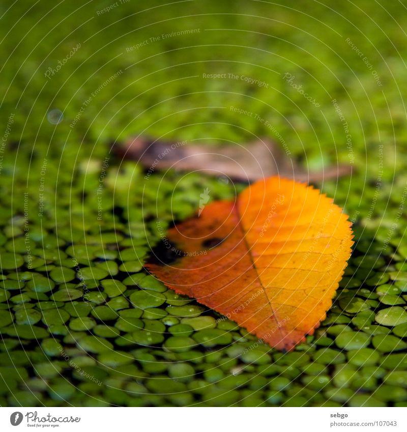 Autumn leaf Wasser grün Pflanze Blatt gelb Herbst braun Teich Ahorn herbstlich Ahornsamen