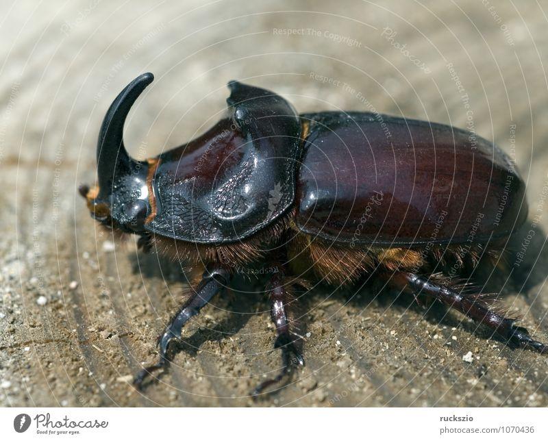 Nashornkaefer, Oryctes, nasicornis, Maennchen, maskulin Natur Käfer Geborgenheit Nashornkäfer selten Maennlich Horn gro§er Rhinoceros beetle males rare