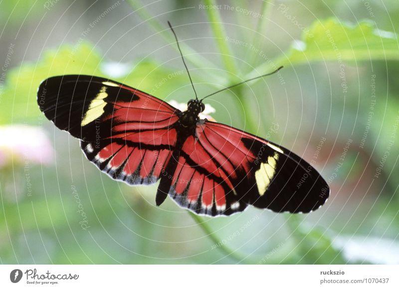 Postmann-Passionsfalter; exotisch Urwald Schmetterling mehrfarbig rosa Heliconius melpomene Tagfalter Insekt Tropischer Schmetterling Postman Passion Falter