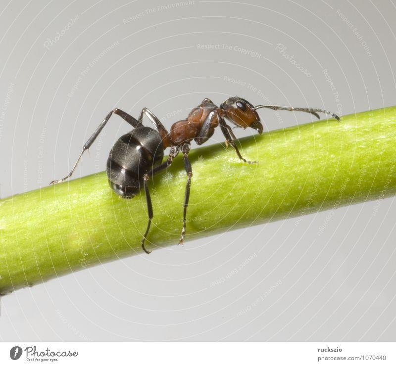 Rote, Waldameise, rot Tier schwarz Wildtier frei groß Insekt Fühler Objektfotografie Ameise neutral Hautflügler nützlich