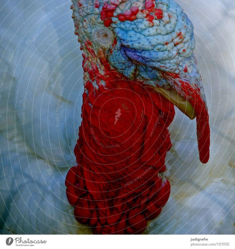 Truthahn Vogel Tier Bauernhof Feder Schnabel rot Aggression Feiertag Lebensmittel Farbe Kamm Stolz Außerirdischer festtagsbraten Erntedankfest
