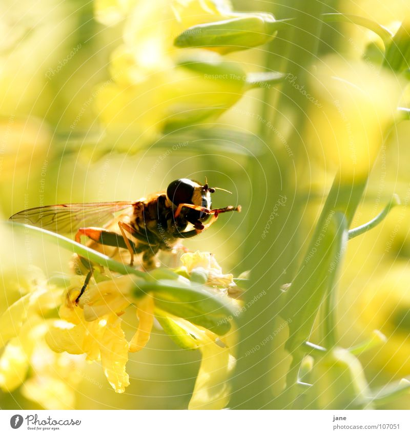 Clap your hands Blume grün Pflanze Sommer Tier gelb Wiese Blüte Frühling Landschaft Fliege Insekt Reinigen Sammlung Fressen Fühler