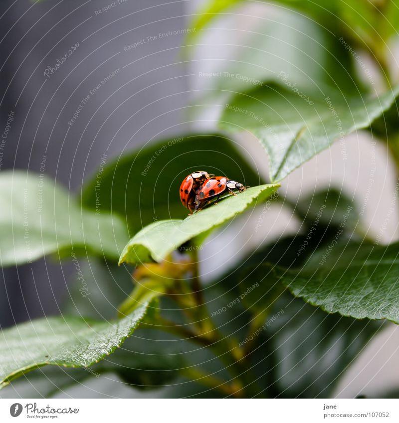 Frühlingsgefühle I Marienkäfer Sommer rot schwarz grün Tier Trieb halbkugeliger flugfähiger Käfer Punkt
