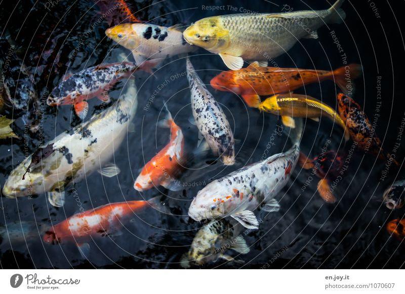 Hunga, Hunga, Hunga Wasser Tier schwarz Leben Schwimmen & Baden orange Fisch exotisch Reichtum Angeln Schwarm Tierzucht Goldfisch gefräßig Karpfen Koi