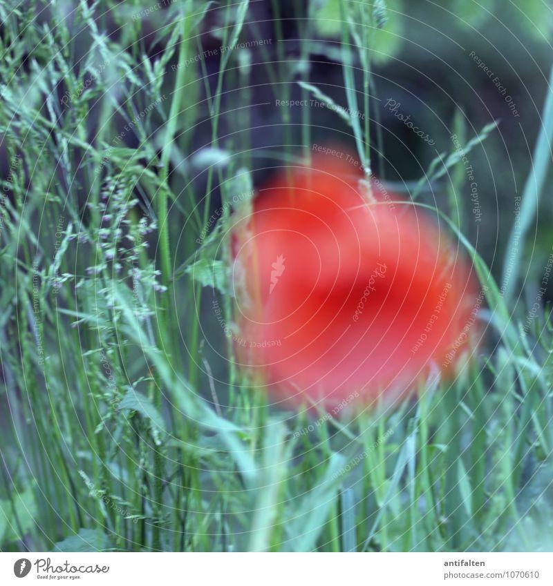 Klatschrose Natur Pflanze schön grün Sommer rot Blume Freude Wiese Gras Frühling natürlich Glück außergewöhnlich Garten Park