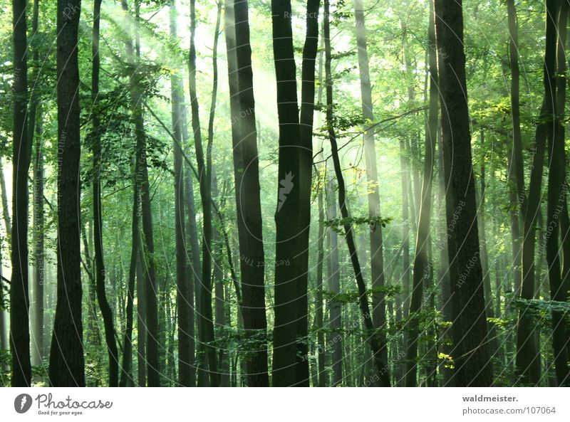 Nebelwald Wald Urwald Märchenwald Zauberei u. Magie Baum Sonne Licht Lichtstrahl feucht grün Romantik mystisch Sommer Frieden