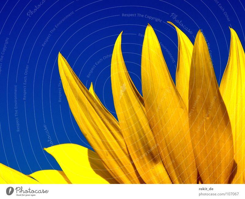 Burning flame Himmel blau Sommer gelb kalt Blüte Wärme Beleuchtung Physik Stengel brennen Erdöl Sonnenblume Flamme strahlend Blütenblatt