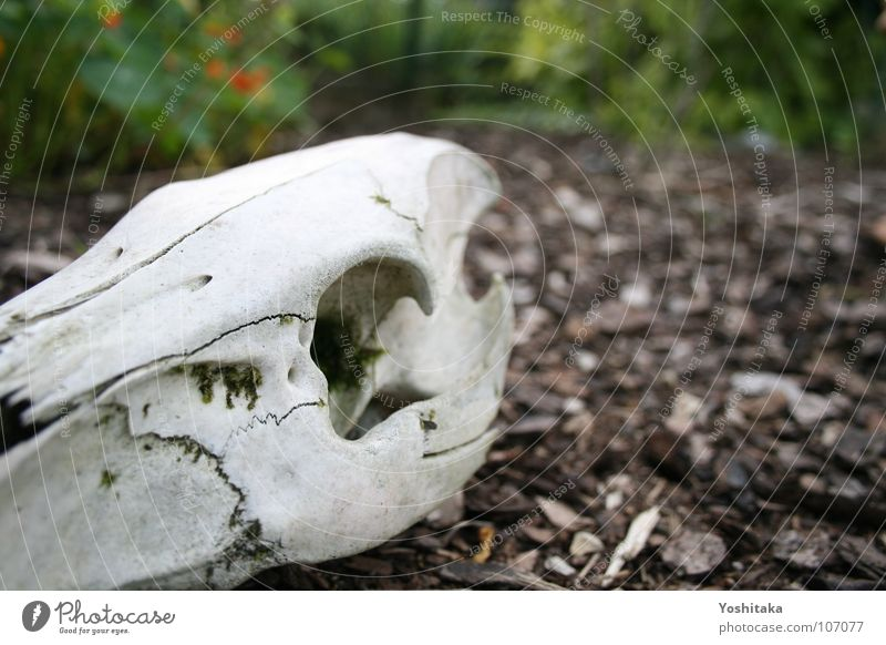 Frieden finden weiß ruhig Einsamkeit Tier Tod Kopf Holz Garten braun leer Bodenbelag Vergänglichkeit Sehnsucht Säugetier Skelett