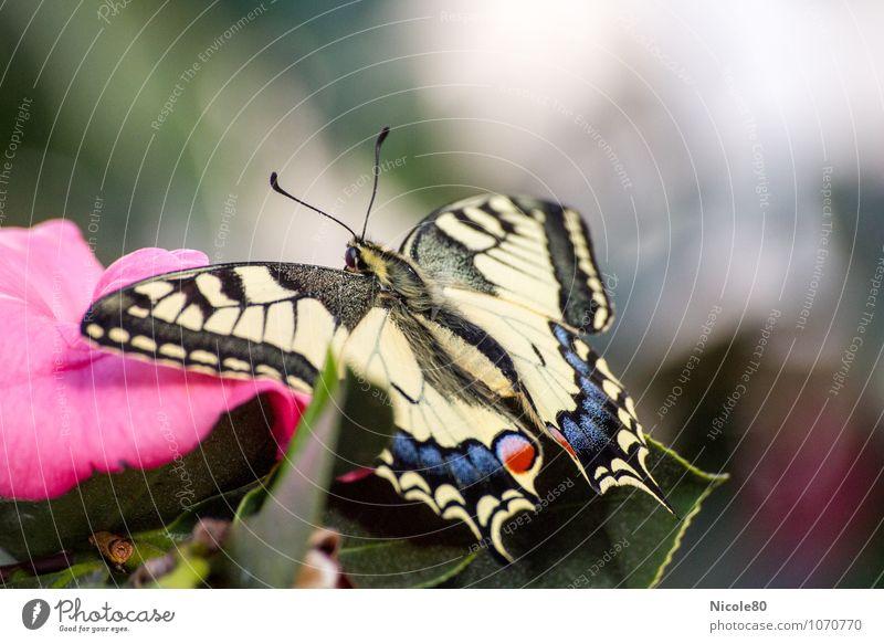 le papillon Tier Schmetterling 1 Leichtigkeit Schwalbenschwanz zart leicht Insekt Tragfläche Blüte Farbfoto Innenaufnahme Menschenleer Textfreiraum rechts