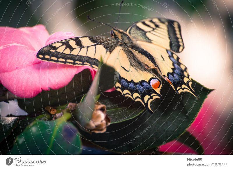 Schwalbenschwanz Schmetterling liegen Insekt Blüte Flugzeuglandung warten Frühling Schmetterlingsflügel Tragfläche zart Farbfoto Innenaufnahme Makroaufnahme