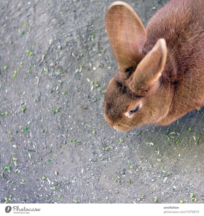 Lauschangriff Tier Frühling natürlich grau braun glänzend Perspektive beobachten Freundlichkeit Ostern Fell hören Tiergesicht Haustier Geruch Zoo