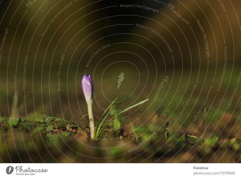 Einsamer Krokus Natur Pflanze grün Blume Umwelt Blüte Frühling natürlich Garten braun hell Erde Schönes Wetter Urelemente violett nah