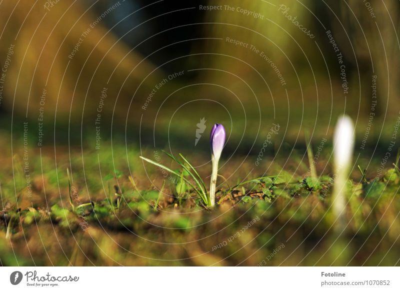 Krokus in Gesellschaft Umwelt Natur Pflanze Urelemente Erde Frühling Schönes Wetter Blume Blüte Garten Park hell nah natürlich Wärme blau braun grün violett