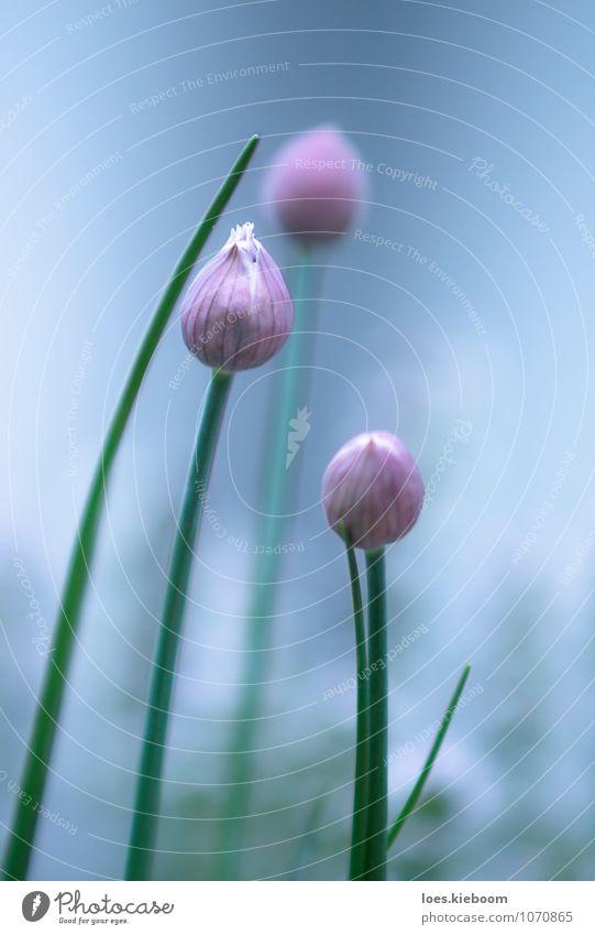 morgenfrische Lebensmittel Kräuter & Gewürze Ernährung harmonisch ruhig Sommer Frühling Pflanze Blüte Nutzpflanze blau grün violett rosa schön Halm Schnittlauch
