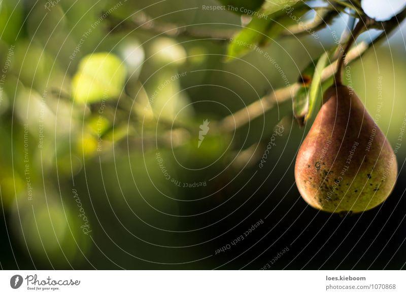 lonely pear Frucht Wellness Erholung ruhig Sommer Sonne Erntedankfest Natur Herbst Pflanze Baum Blatt Nutzpflanze Garten frisch Gesundheit lecker natürlich grün