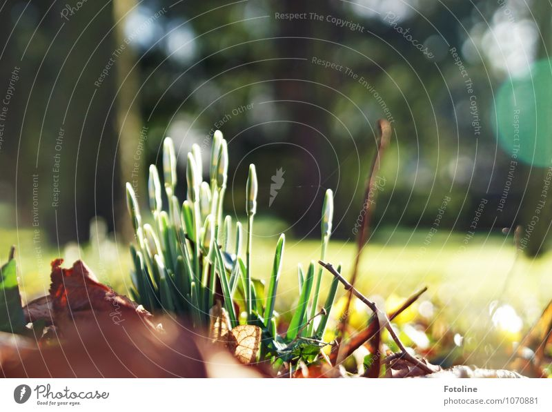 Frühlingstag Umwelt Natur Landschaft Pflanze Schönes Wetter Baum Blume Blüte Garten Park hell nah natürlich braun grün weiß Schneeglöckchen Frühblüher