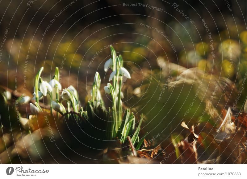 natürlich - Schneeglöckchen! Natur Pflanze grün weiß Blume Blatt Umwelt Blüte Frühling Garten braun hell Park frisch Schönes Wetter