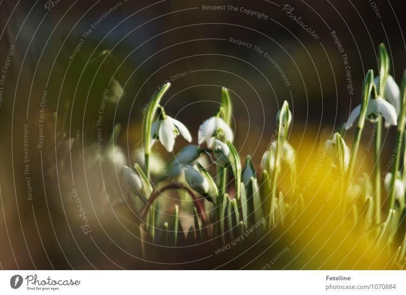 Frühlingsversteck Umwelt Natur Pflanze Schönes Wetter Blume Blüte Grünpflanze Wildpflanze Garten Park frisch hell klein nah natürlich braun gelb grün weiß