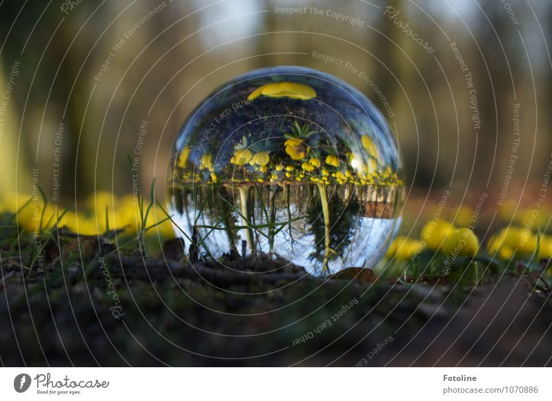 Alles auf dem Kopf Umwelt Natur Landschaft Pflanze Frühling Schönes Wetter Blume Blüte Garten Park hell nah natürlich braun gelb grün Glaskugel Winterlinge