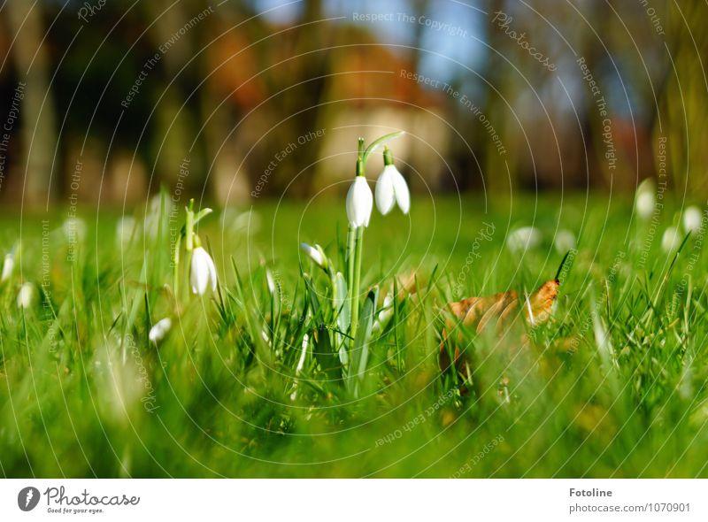 Klingeling Natur Pflanze grün weiß Blume Umwelt Wiese Blüte Frühling natürlich Garten braun hell Park Schönes Wetter nah