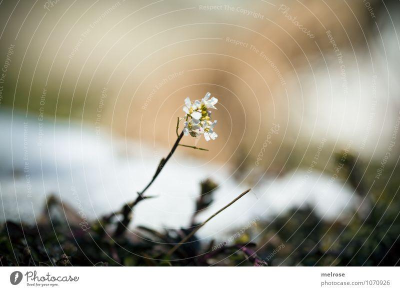 Frühlingserwachen Natur Pflanze schön weiß Erholung Blume Landschaft Winter Schnee Garten braun Wachstum leuchten Erde elegant gold