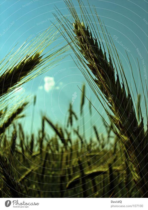 Stulle und Brot Himmel grün blau Ernährung Gras Feld Getreide Landwirtschaft Appetit & Hunger Ernte Halm Korn Samen Kornfeld Weizen Stroh
