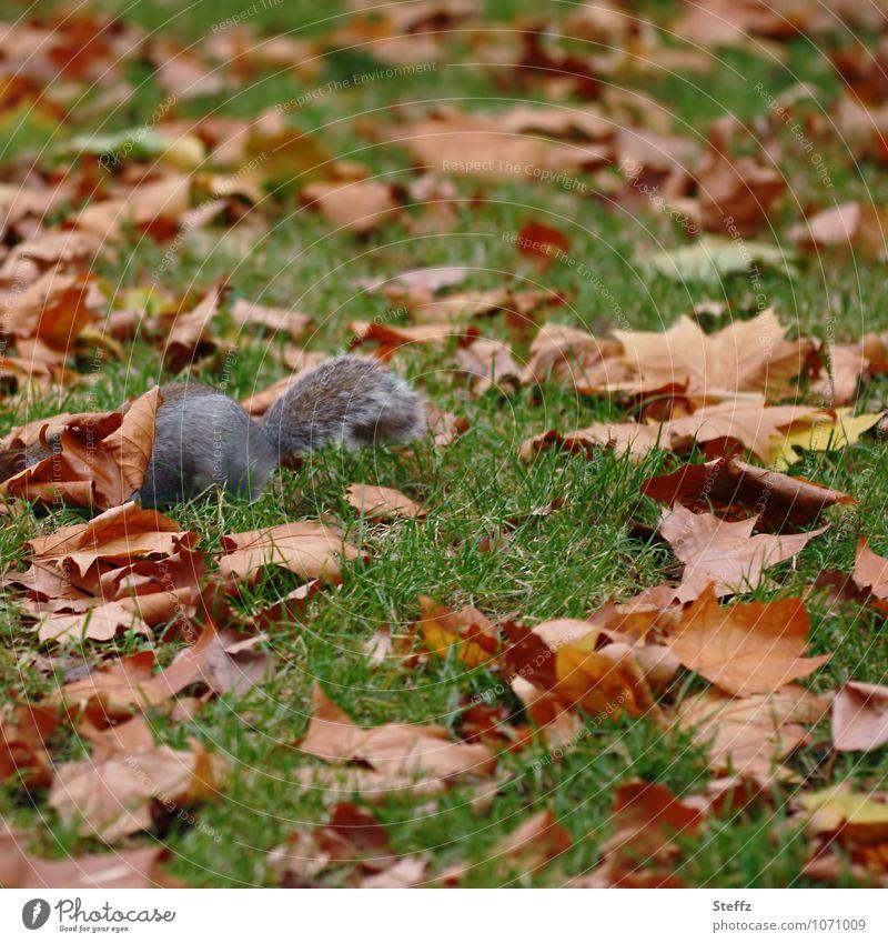 ein Suchbild Umwelt Natur Landschaft Tier Herbst Pflanze Gras Blatt Herbstlaub Wiese Herbstlandschaft Eichhörnchen graues Eichhörnchen 1 frei natürlich