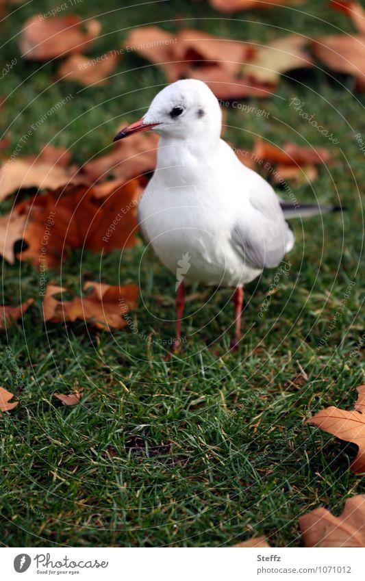 Herbstmöwe Natur Pflanze grün weiß Einsamkeit ruhig Tier Gras Vogel orange stehen Möwe Herbstlaub herbstlich Meeresvogel