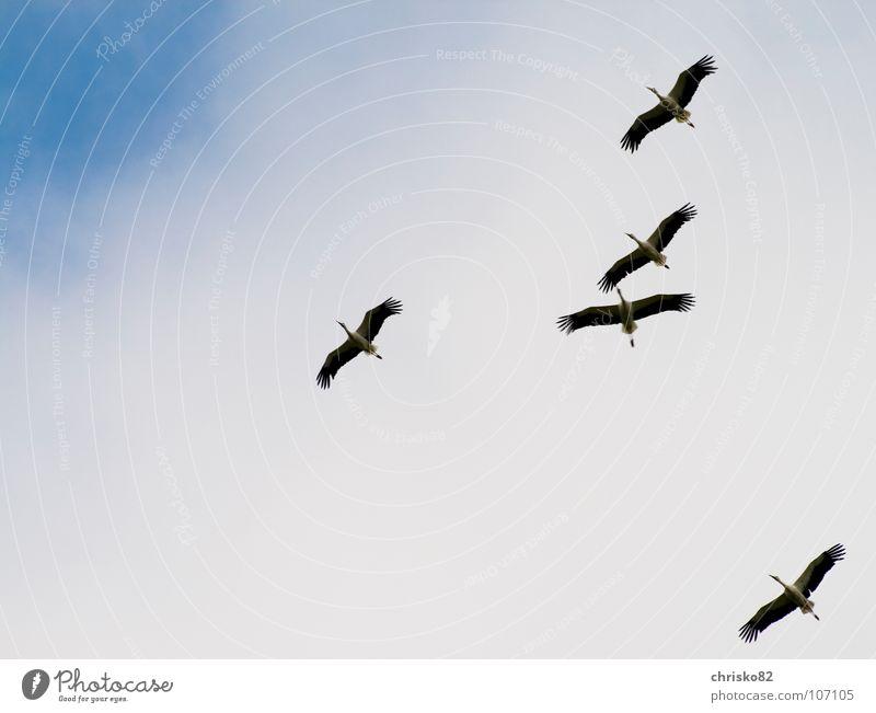 quintuples weiß Freude schwarz Glück Wärme Luft Vogel Wind fliegen groß Segeln Schnabel Storch Schwarm gleiten