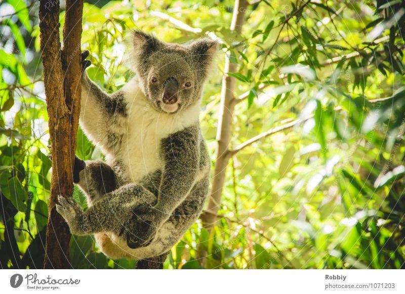 Koalalalala... II Baum Blatt Eucalyptus Eukalyptusbaum Wald Urwald Australien Tier Wildtier Zoo 1 beobachten festhalten hängen exotisch natürlich wild grün