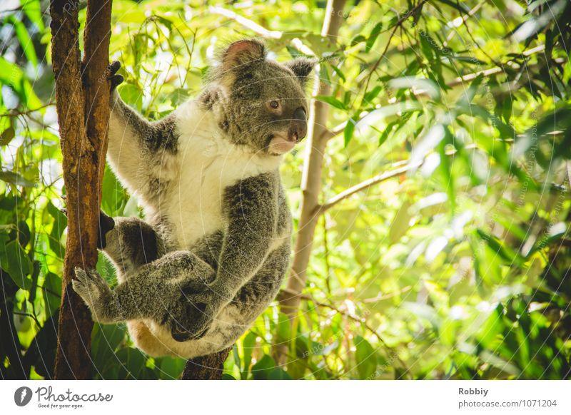 Koalalalala... I Natur Ferien & Urlaub & Reisen Baum Blatt Tier Wald Umwelt natürlich wild Idylle Wildtier Tourismus beobachten festhalten Umweltschutz exotisch