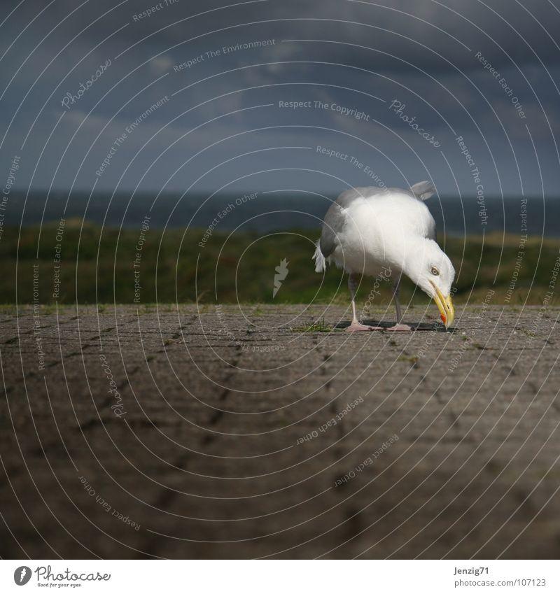 Suchst Du was? Meer Wege & Pfade Vogel laufen Insel Feder Suche Möwe Schnabel Norden Deich Brise Tier Langeoog Ostfriesland picken