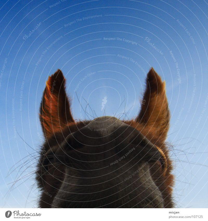 Eosebio Pferd Schnauze Nüstern Sinnesorgane Fell Neugier hören Tier atmen lustig Säugetier Makroaufnahme Nahaufnahme Maul spitzohren Spitze Himmel blau