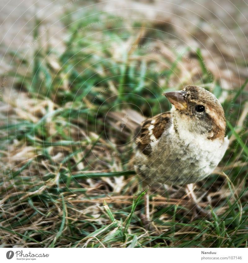 Piep? Sommer Tier Wiese Vogel Suche frei Neugier trocken Spatz