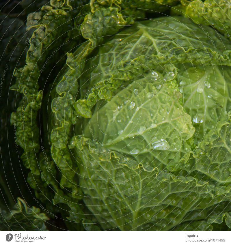 Wirsingkopf Lebensmittel Gemüse Ernährung Bioprodukte Vegetarische Ernährung Pflanze Nutzpflanze Kohl Kohlgewächse Garten glänzend Wachstum nass natürlich rund