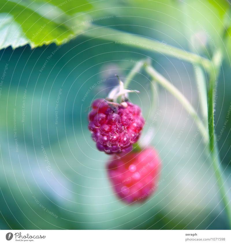Himbeeren Frucht süß Beeren Garten Blume Pflanze frisch Lebensmittel Gesunde Ernährung stachelig Bodenbearbeitung Botanik Vegetarische Ernährung lecker Natur