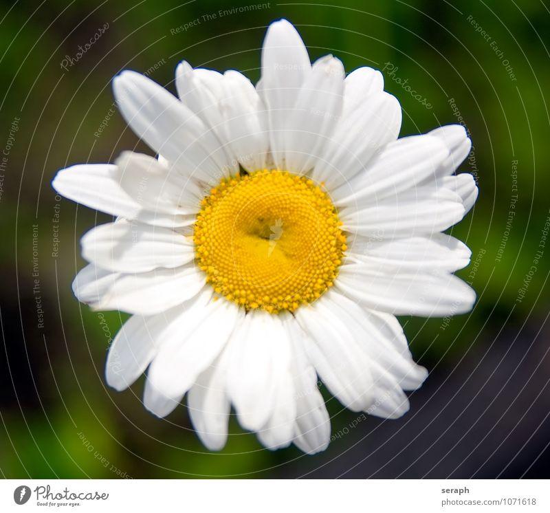 Wiesen-Margerite Staubfäden Ordnung Sonnenröschen Astern stamp Blume Blühend Blüte Blütenkette Korbblütengewächs Wachstum Pflanze geblümt Blatt Blütenblatt