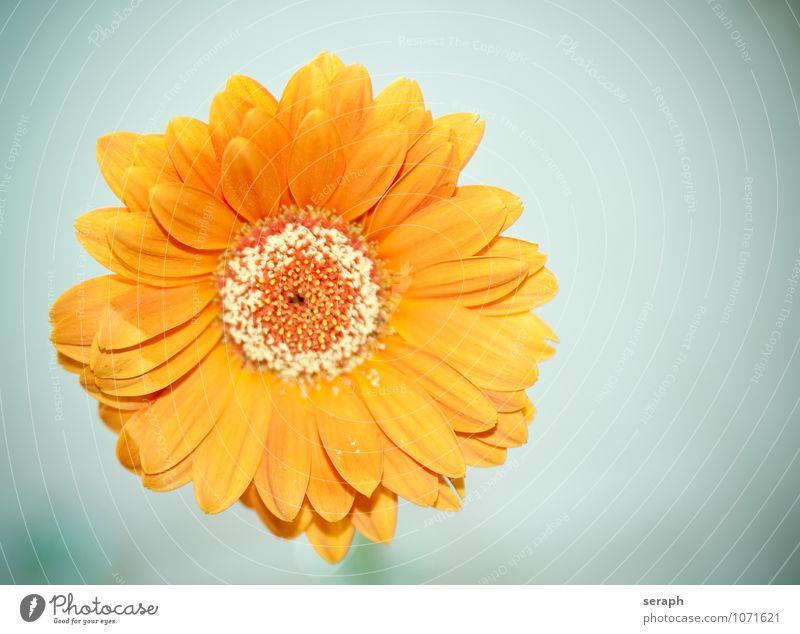 Aster Pflanze schön Blume Blatt gelb Gras Blüte orange Wachstum Ordnung frisch Blühend Lebewesen Beautyfotografie Blütenblatt Gänseblümchen