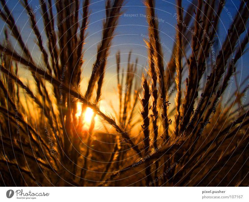 Home_Sundown Himmel Sonne blau gelb Herbst Gras orange Schilfrohr Korn