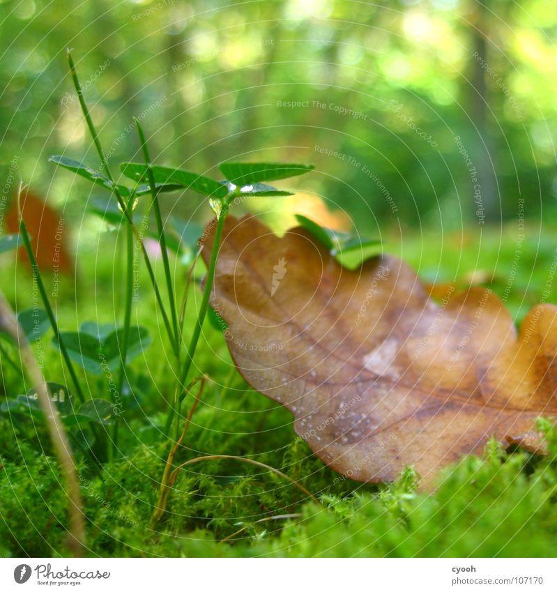 nach dem Regen Herbst Klee Eiche Blatt grün Gras braun grasgrün feucht Wald Wiese nah Froschperspektive Lichtfleck ruhig Suche finden entdecken rein Pflanze