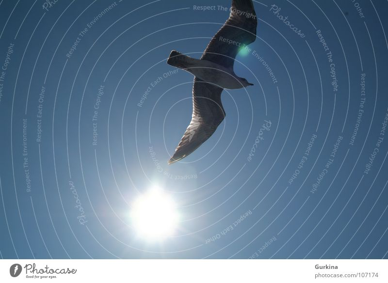 The seagull fly Sommer Himmel Vogel Lachmöwe sun freedom wing ocean bird sky Wind