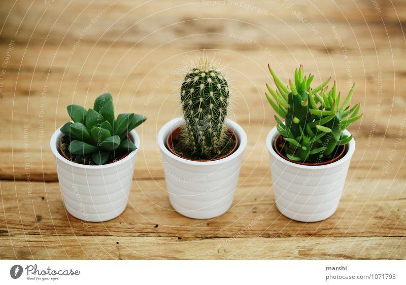 Trio Natur Pflanze grün Kaktus Grüner Daumen 3 Holztisch Dekoration & Verzierung Stachel stachelig schön Sukkulenten Farbfoto Innenaufnahme Tag