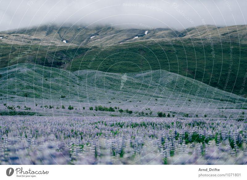 Lupinen Ferien & Urlaub & Reisen Tourismus Ausflug Abenteuer Ferne Umwelt Natur Landschaft Pflanze Himmel Wolken Blume Gras Sträucher Lupinenfeld Wiese Feld