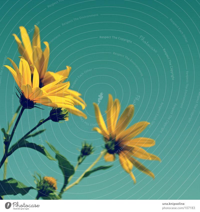 yellow flower Sommer Pflanze Himmel Blume Blüte blau gelb grün türkis Blütenblatt sommerlich Jahreszeiten Gute Laune Blütenknospen Farbfoto mehrfarbig