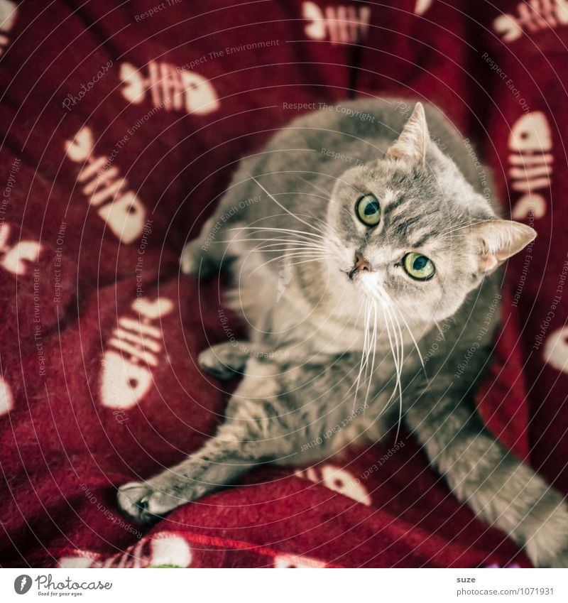 Wenn ich du wär ... Zufriedenheit Freizeit & Hobby Häusliches Leben Tier Katze 1 authentisch schön kuschlig lustig niedlich grau rot Neugier Interesse