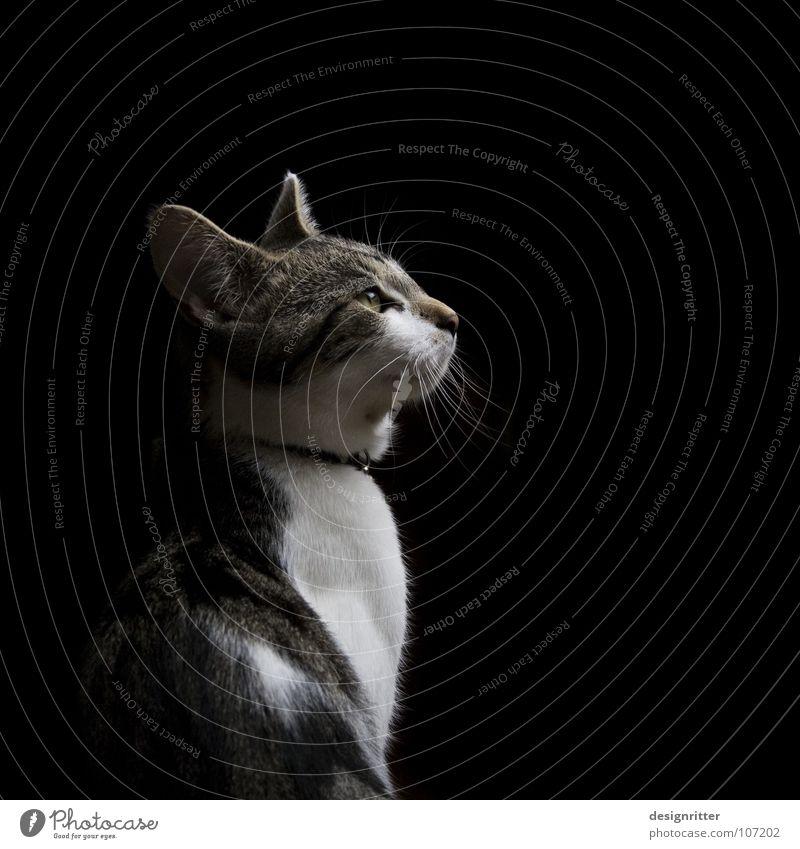 Instinkt Katze Hauskatze Landraubtier dunkel Jäger Wachsamkeit Kontrolle Konzentration Anspannung Nervosität Blick hören Säugetier Cat Lotta Jagd warten leuern