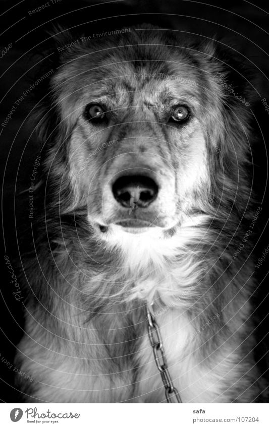Good Morning Tier Dorf Kleinstadt Stadt Haus Garten Haustier Nutztier Hund 1 Metall Armut dunkel klug trist schwarz weiß Iran Asien Kette Eisenkette Nase Auge