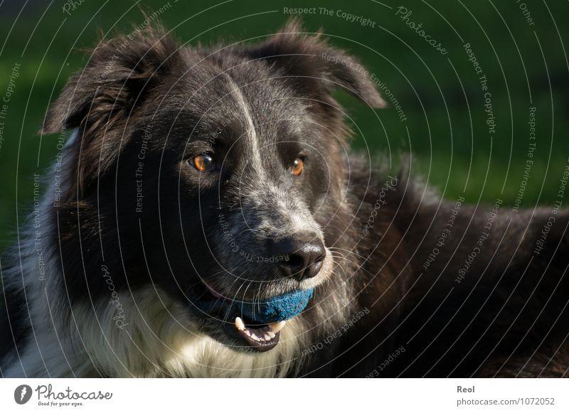 Verspielt Tier Haustier Hund Border Collie Hirtenhund 1 schwarz weiß spielkamerad Wachsamkeit Ball blau Fell Auge apportieren Spielen Farbfoto Gedeckte Farben