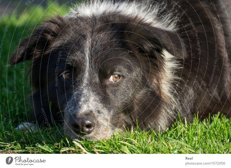 Abwartend Natur Pflanze Tier Gras Wiese Haustier Hund Border Collie liegen Hirtenhund 1 grün schwarz weiß Leben Wachsamkeit Fell Auge Wegsehen Boden Kopf ruhig